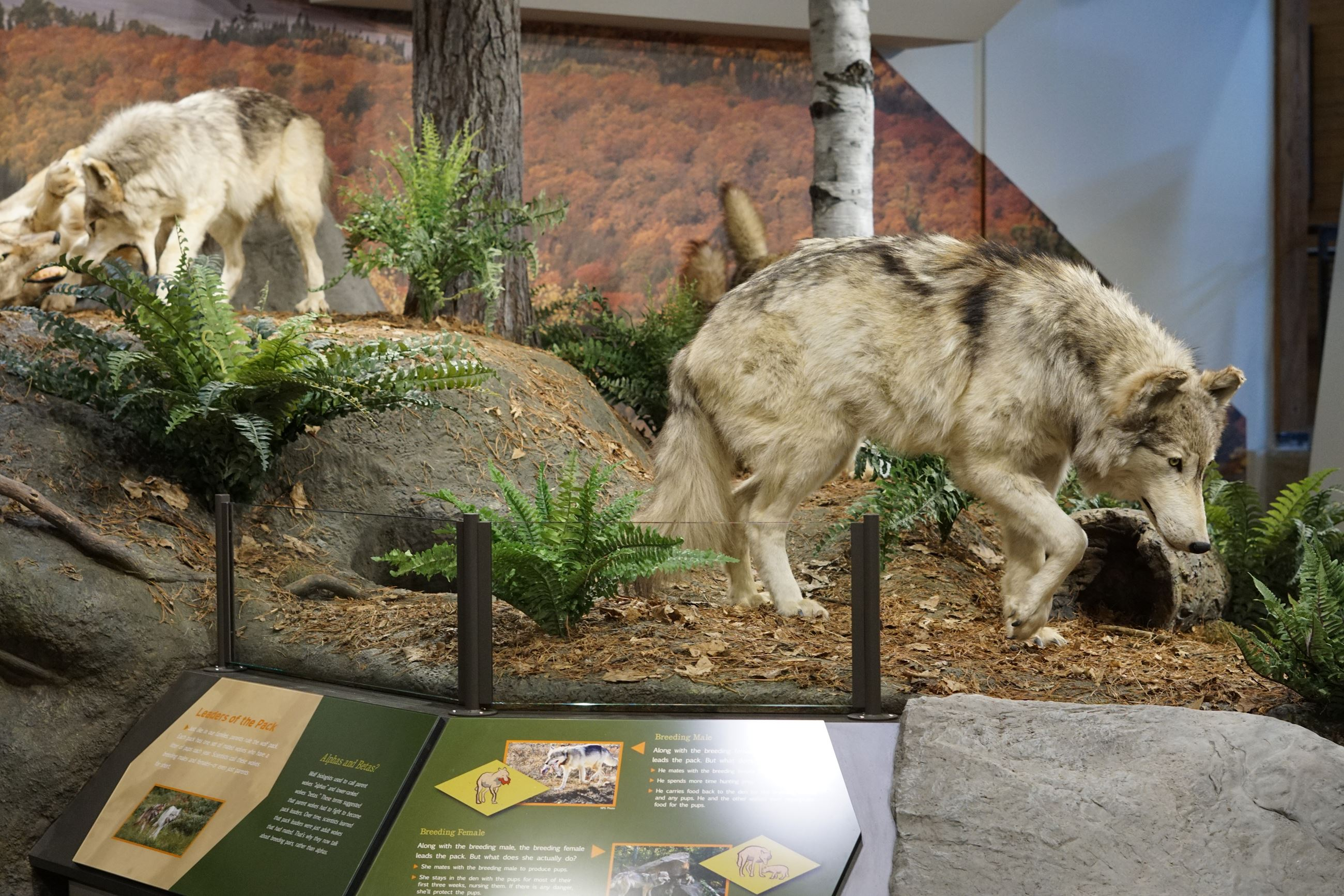 Wolf Exhibit in Ely